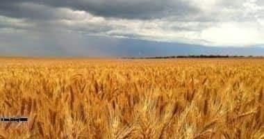 إرتفاع معدلات التوريد من القمح المحلى موسم 2020 مقارنه بالعام الماضي 2019 ببورسعيد